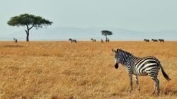 African savanna with one zebra looking over its shoulder at the camera and the rest of the herd in the background