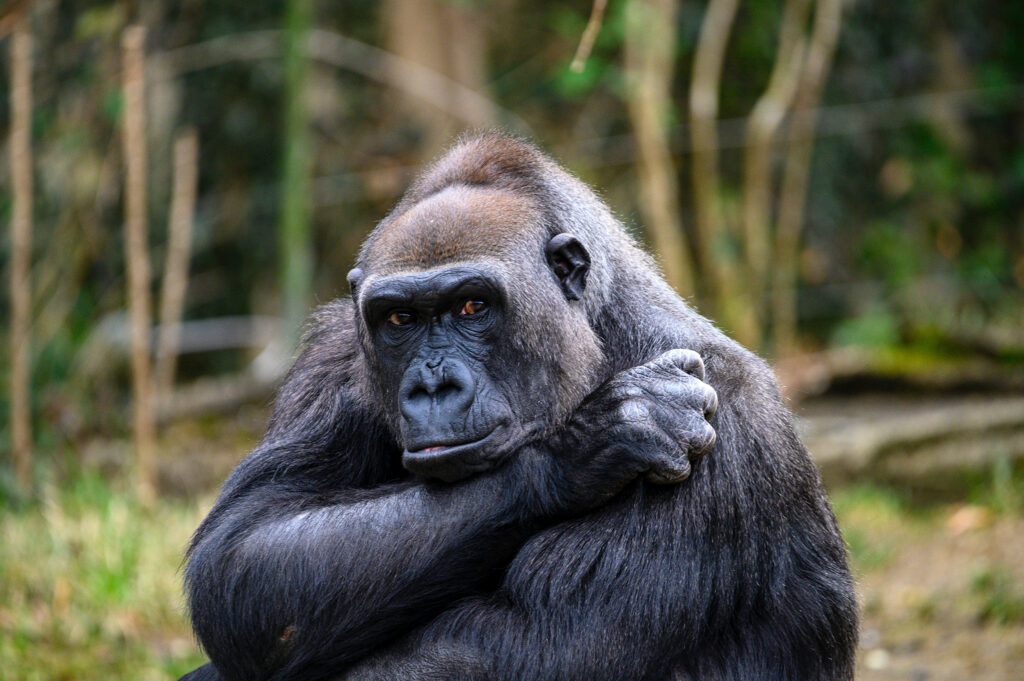 Gorilla sitting with arms crossed, hunched shoulders, and nervous eyes, making a bad first impression